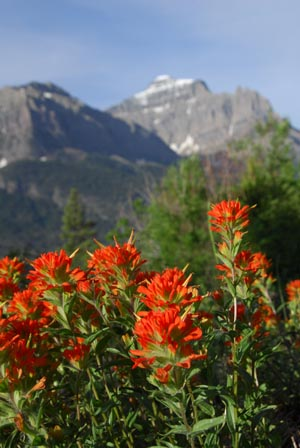 Indian Paintbrush along Going to the Sun Road