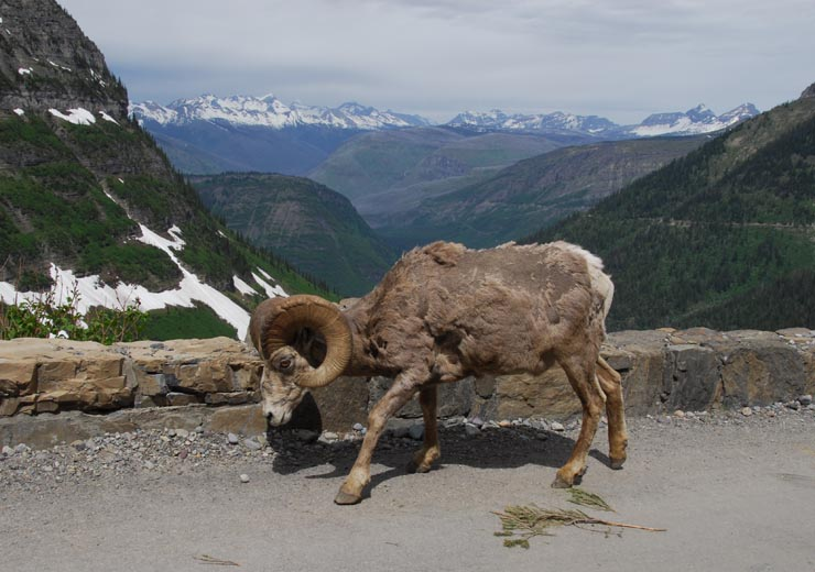 Bighorn sheep ram on Going-to-the-Sun Road